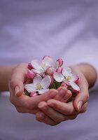 Hände mit Apfelblüten
