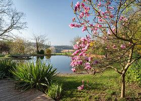 Blühender Magnolienbaum und Palmlilien vor Schwimmteich