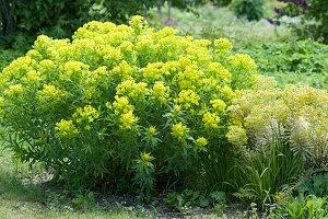 Blühende Gold-Wolfsmilch, Busch-Wolfsmilch 'Ascot Rainbow'  im Garten