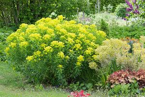 Blühende Gold-Wolfsmilch, Busch-Wolfsmilch 'Ascot Rainbow' und Purpurglöckchen im Garten
