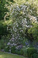 Ramblerrose 'Venusta Pendula' im Beet mit Katzenminze, Glockenblumen und Prachtkerze