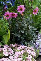 Bepflanzter Steintrog mit Dahlie Mystic 'Dreamer' und Petunie Mini Vista 'Pink Star'