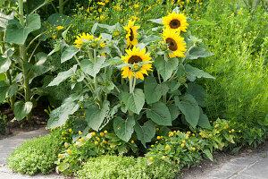 Gelbes Beet mit Sonnenblumen, Mädchenauge, Parakresse und Oregano