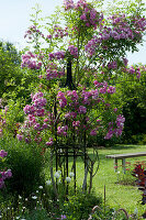Ramblerrose 'Taunusblümchen' an Rankstele im Beet