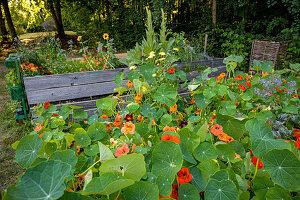 Kapuzinerkresse in einem Hochbeet, Selbstgemachtes mit Kräutern aus dem eigenen Garten