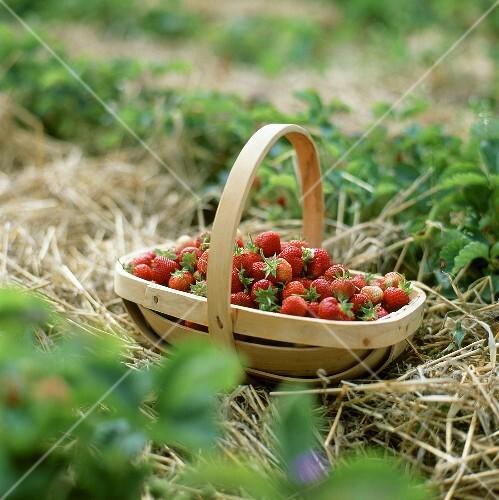Basket of freshly picked strawberries in strawberry field