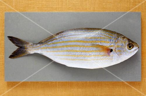 A fresh sarpa salpa