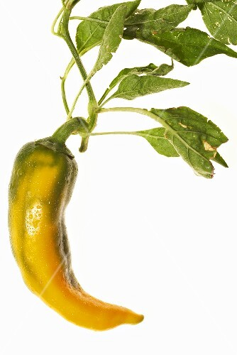 A yellow chilli pepper with leaves