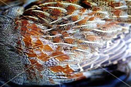 Partridge plumage (close-up)