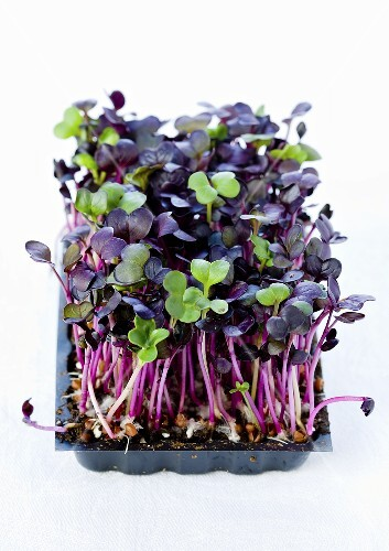 Daikon cress in a plastic container