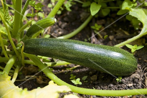Courgettes on a plant in a bed