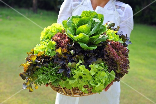 A woman holding basket of fresh lettuce