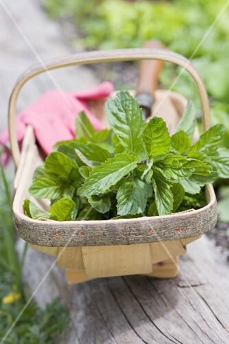 Fresh mint in a wooden basket