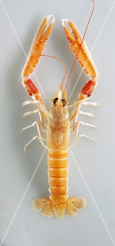 A Norway lobster viewed from above