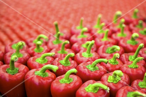 Many rows of red peppers