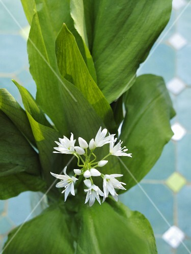 Ramsons with flowers