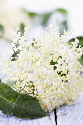 Elderflowers and leaves