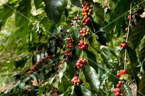 Coffee beans on a bush