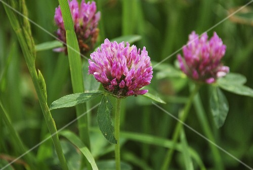 Red clover in a field