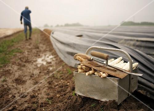 Equipment for cutting asparagus