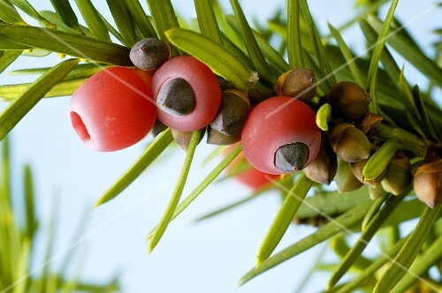 Yew twig with fruit (Taxus baccata)