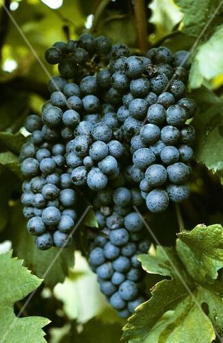 Nebbiolo grapes, Valtellina, Italy