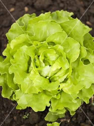 Lettuce in garden (overhead view)