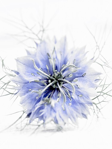 A black cumin flower