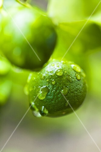 Unripe oranges with drops of water