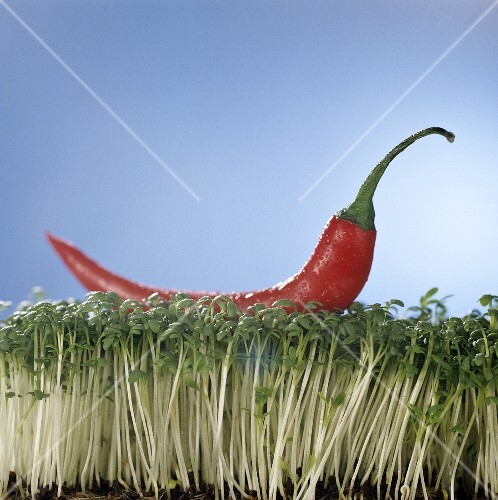 A red chilli lying on a bed of cress