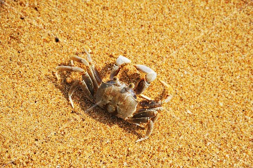 Saltwater crab in sand