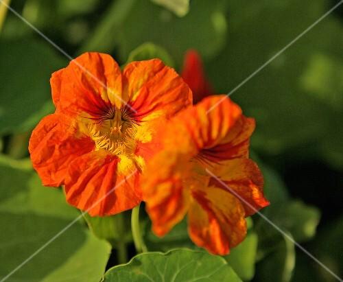 Nasturtium flowers on the plant
