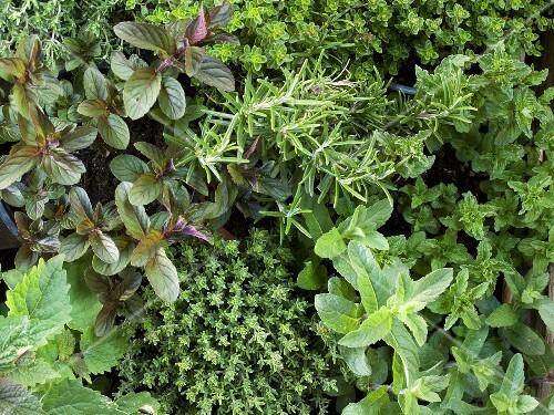 Various herbs in pots, full-frame
