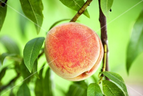 Peach on the branch