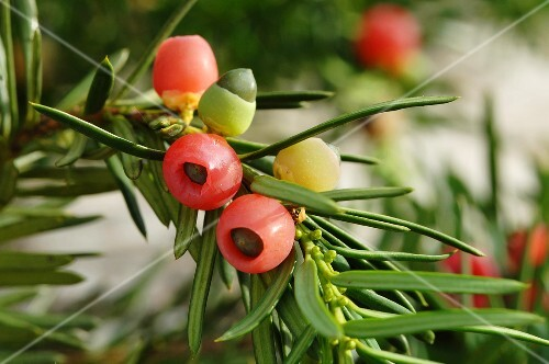 Yew twigs with berries