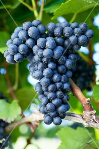 Red wine grapes (variety Blaufränkisch) on the vine