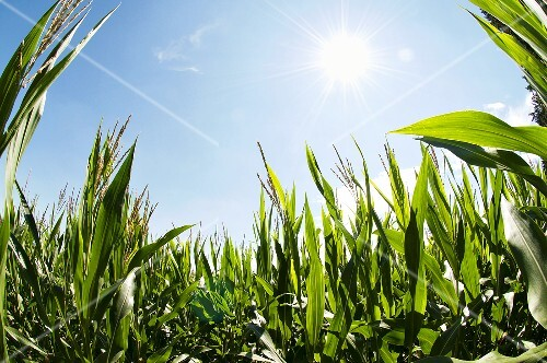 A corn field in the sun