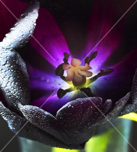 Queen of Night tulip with dewdrops (close-up)