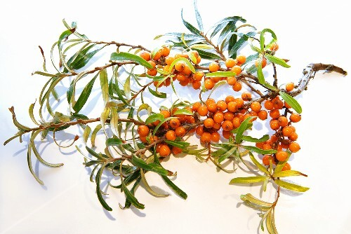 A sprig of buckthorn berries
