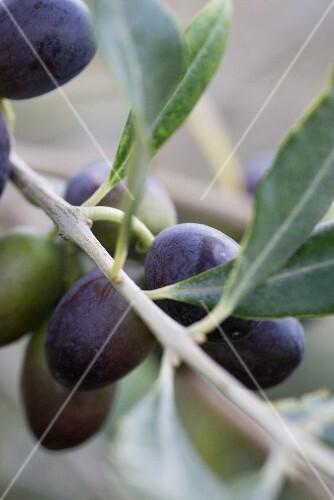 Olives on a sprig (close-up)