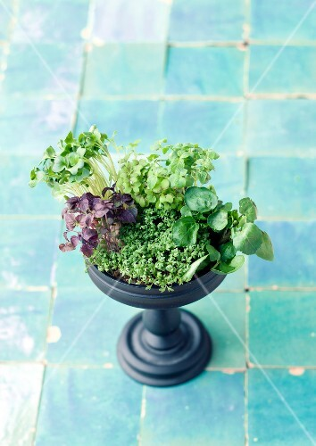 Various type of cress in a plant pot