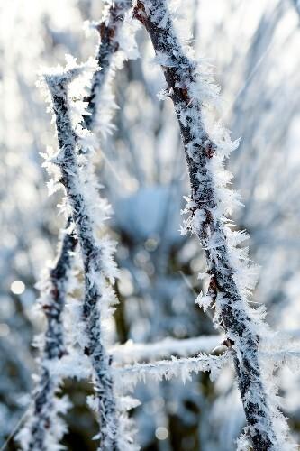 Winterküche, Eiskristalle an Dornenzweigen