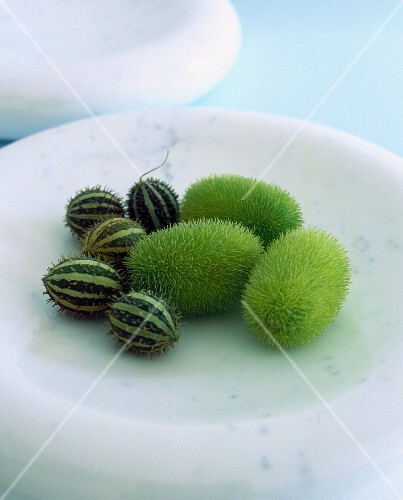 Prickly cucumbers (echinocystis lobata)