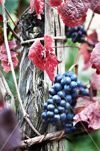Pinot noir grapes on a vine in the wine-growing region on the river Ahr