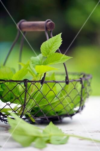 A basket of ground elder