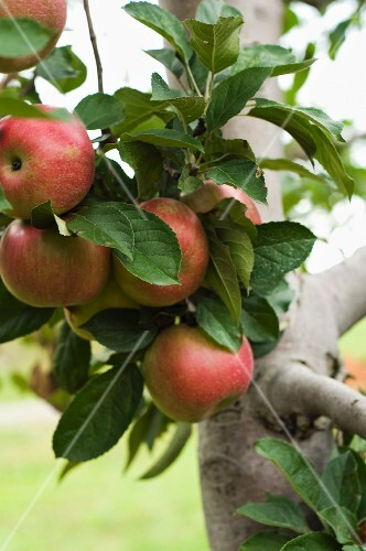 A Cluster of Apples Growing on a Branch on an Apple Tree in an Orchard