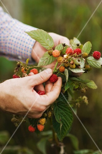 Mans Hands Holding a Raspberry Branch to Pick a Ripe Raspberry