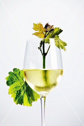 A glass of white wine with a young vine and leaves