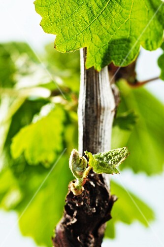 A spring vine with green leaves