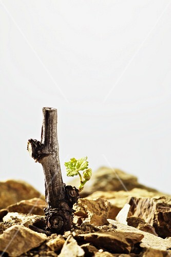 A vine with young shoots